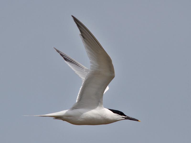 Sandwich Tern (Neil G. Morris)